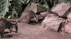 Swamp aka Black Wallaby Kangaroo Pair in Australia - stock footage