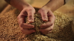 Agriculture worker touching dry oat seeds with hands, good cereal grain harvest - stock footage