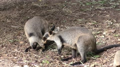Swamp Black Wallaby Pair in Australia - stock footage