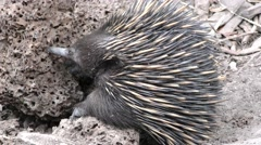 Short-beaked Echidna Feeding on Termites and Ants in Nest Stock Footage