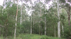 Still Shot of Australia Eucalyptus Forest in Blue Mountains National Park Stock Footage