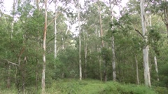 Pan of Eucalyptus Forest in Australia Blue Mountains National Park Stock Footage