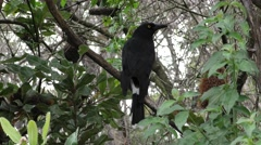 Black and White Pied Currawong Bird in Eucalyptus Forest in Australia - stock footage