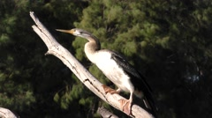 Australasian or Australian Darter Bird on Branch in Australia Stock Footage