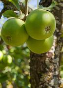 - Tres Manzanas en Arbol Stock Photos
