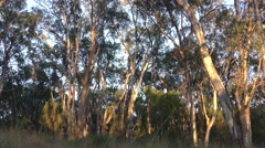 Still Shot of Australia Eucalyptus Forest and Trees Stock Footage