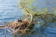 Black Coot breeding - stock photo