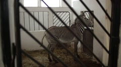 Striped Zebra Moving at Door in a Building in the Paddock Stock Footage