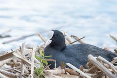 Black Coot breeding Stock Photos