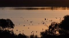 Wetland and Waterfowl Backwater Murray River in Australia at Sunrise Stock Footage