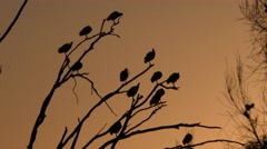 Australian Ibis Birds Flock in Tree at Dawn Against Orange Sunset - stock footage
