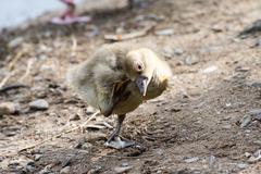 gray goose chicken of spring 2016 - stock photo