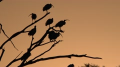Australian Ibis Birds on Dead Tree Branches Sunrise Orange Sky Stock Footage