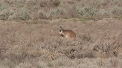 Red Kangaroo Buck in Australia Outback Arid Land Desert Shrubland Stock Footage