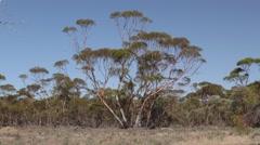 Eucalyptus Tree in Australia Mallee Forest Shrubland Blue Sky Stock Footage