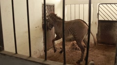 Striped Zebras Rushing About Doors in Paddock Stock Footage