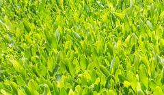 Green tea is growing - stock photo