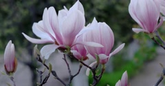 Branch of Blossoms Magnolia Flowers in Spring Time. Stock Footage