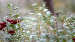 Berries Cranberries in the Northern Forest - stock footage
