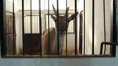 Antelope Through Grate in a Building to Inspect the Neighborhood Stock Footage