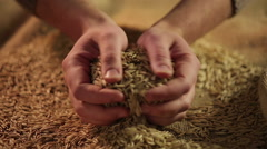 Agriculture worker touching dry oat seeds with hands, good cereal grain harvest Stock Footage