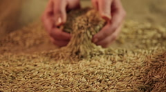 Hardworking farmer's hands showing golden rye grain to camera, labor result Stock Footage