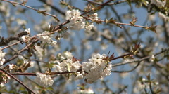 Almond blossom tree - stock footage