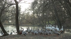 Huge Flock of Ducks on Shore Down to Water in a Pond Stock Footage