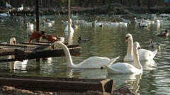 A Huge Flock of Swans Swimming and Drinking Water in a Pond Stock Footage
