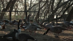 Horde of Goose Feeds on Feeders About Land on a Background of Wooded Area Stock Footage