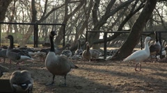 Horde of Goose Feeding on Bird Feeders About on Land on Background of Wooded Stock Footage