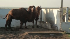 One of the Camels Draws Attention and Emitting Saliva Comes Closer Stock Footage