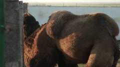 Bactrian Camel Approaches and Pressed Against Fence in Yard Stock Footage