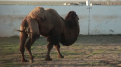 Several Bactrian Camels Walking Around Yard With a Concrete Fence Stock Footage