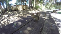 A Squirrel on a picnic table searching for food Stock Footage