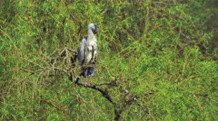 Grey Heron (Ardea cinerea) preening Stock Footage