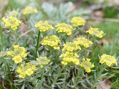 Immortelle - Helichrysum arenarium,  dwarf everlas - stock photo