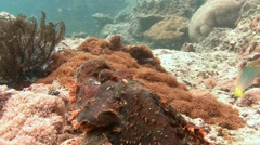 Scorpion fish cleverly camouflaged against the reef waiting for prey. - stock footage