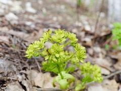 Young inflorescence close-up.  leaves and buds - stock photo
