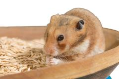 Hamster portrait on heap of grain - stock photo
