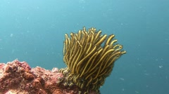 Sea lily. Stunning colorful coral reefs. Stock Footage