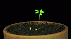 Stock Video Footage of Time-lapse of growing cress plant in RGB + ALPHA matte format
