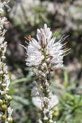 Flowers of White asphodel, Asphodelus albus Stock Photos