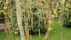 Birch catkins swaying in the wind - stock footage
