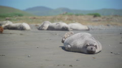Elephant seal stretches on the beach near San Simeon California Stock Footage