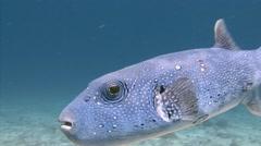 Arothron fish. Stock Footage