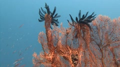 Gorgonian. Sea lilies.  Stunning colorful coral reefs. - stock footage