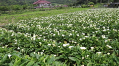 Lilies growing at Calla Lily Plantation, Yangmingshan, Taiwan Stock Footage