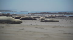 Low angle view of elephant seals near San Simeon California Stock Footage