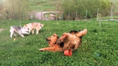 Dogs playing outside in the garden in the summer heat Stock Footage